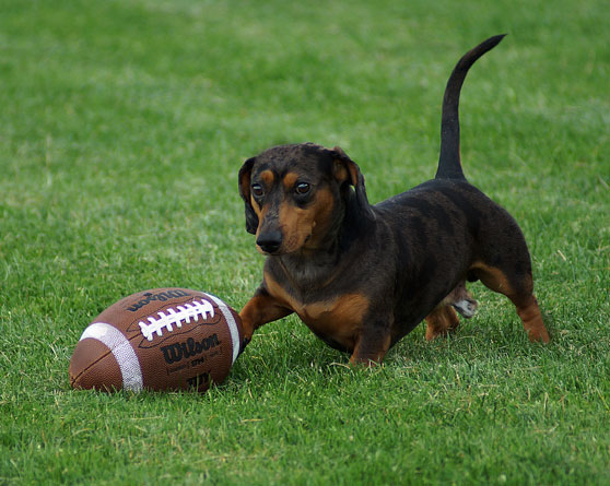 Small dog playing with a football