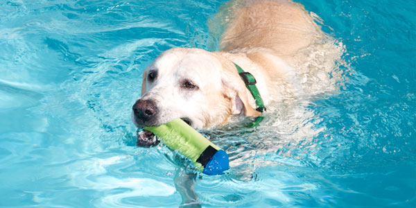 Labrador swimming with toy
