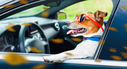 Dog driving a car in sunglasses
